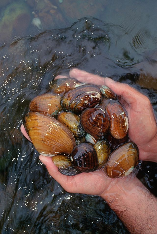 A variety of different species of rare mussels are pulled from the Clinch River. The Cumberland Forest Project conserves important forestlands in the river's watershed.