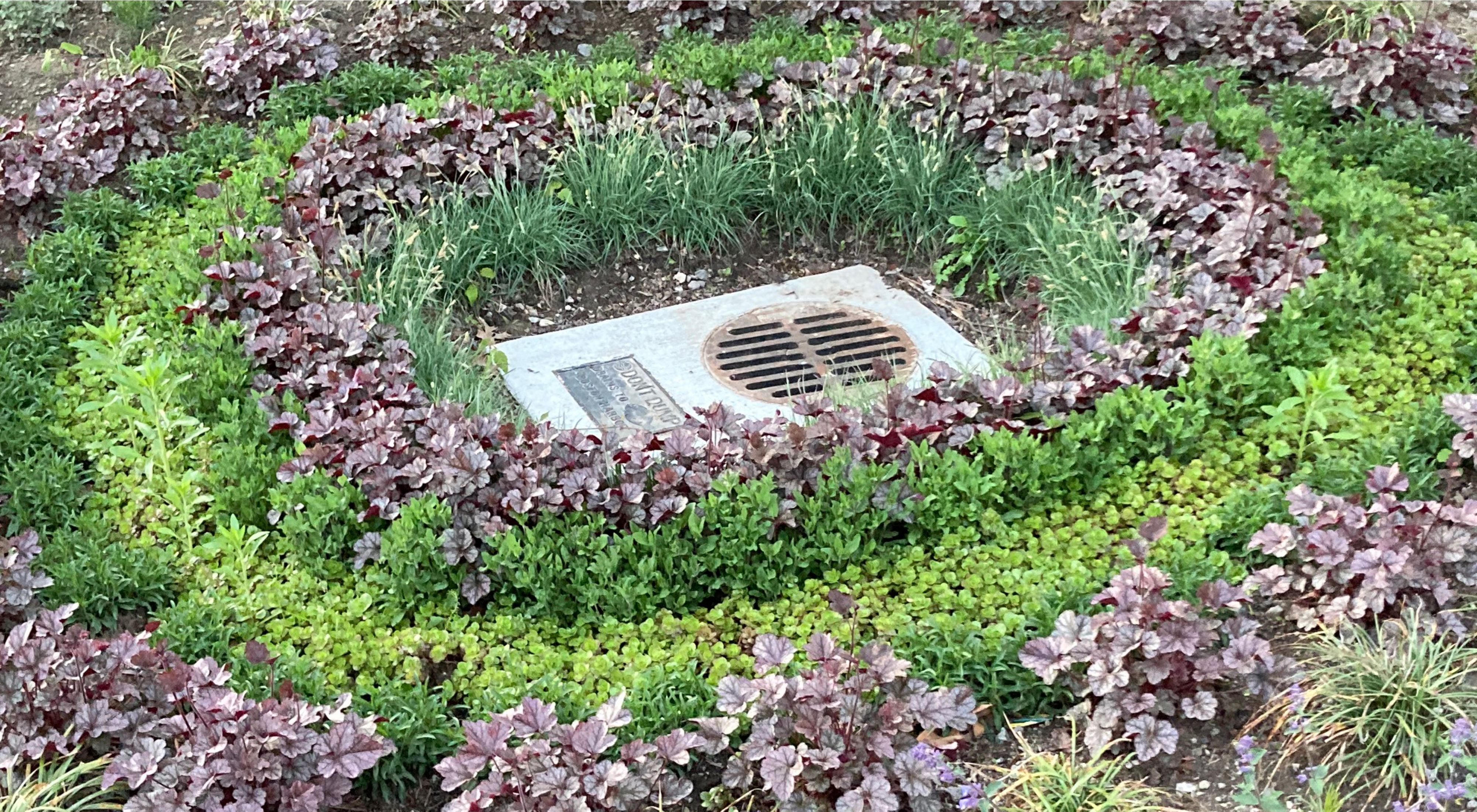 Close up photo of plants in concentric circles that form a rain garden in dirt near some houses.