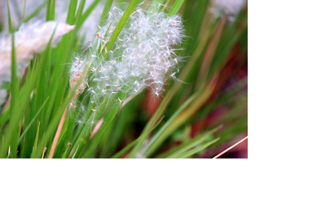 This tall perennial grass forms dense circular infestations that exclude all native species.