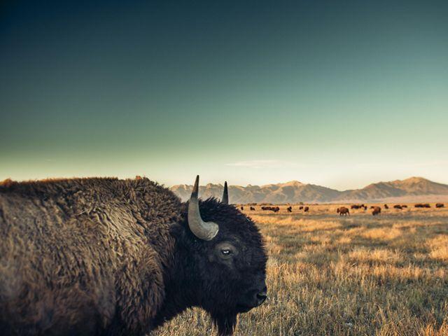 Close-up of a bison overlooking grasslands.