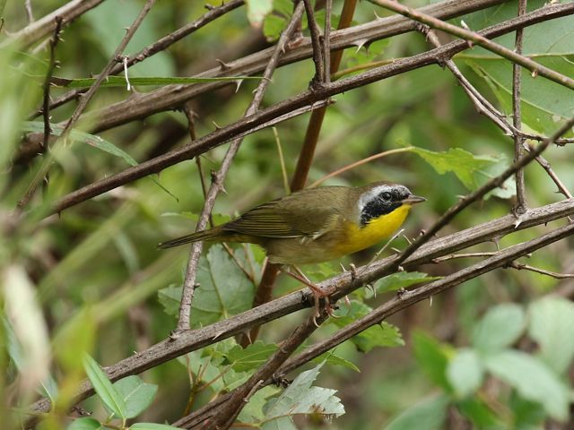 A common yellowthroat is perched in a thorny shrub.