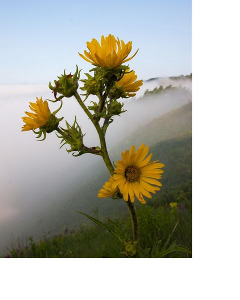 You can find the tall stately compass plant blooming in Wisconsin prairies from June through September.
