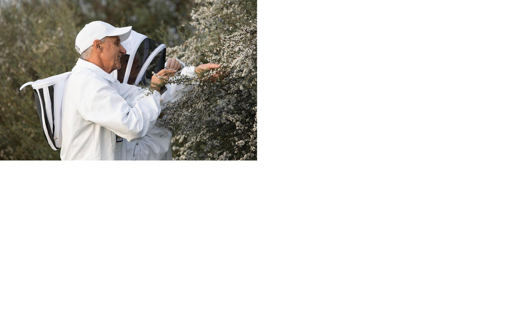 Comvita Beekeeper checks out the once-a-year Manuka flower bloom