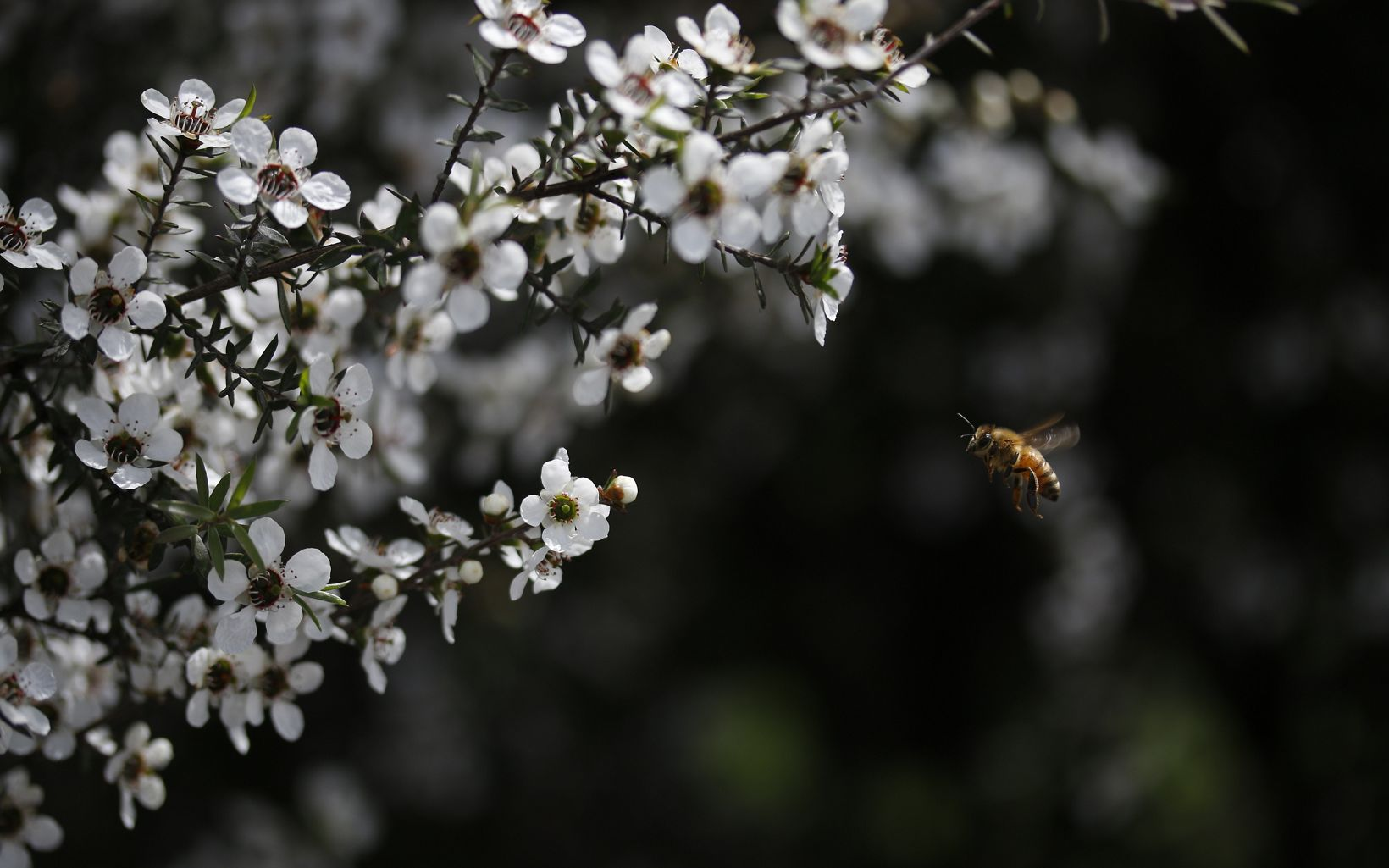 The Manuka flower, native to New Zealand, blooms just 2-6 weeks per year.