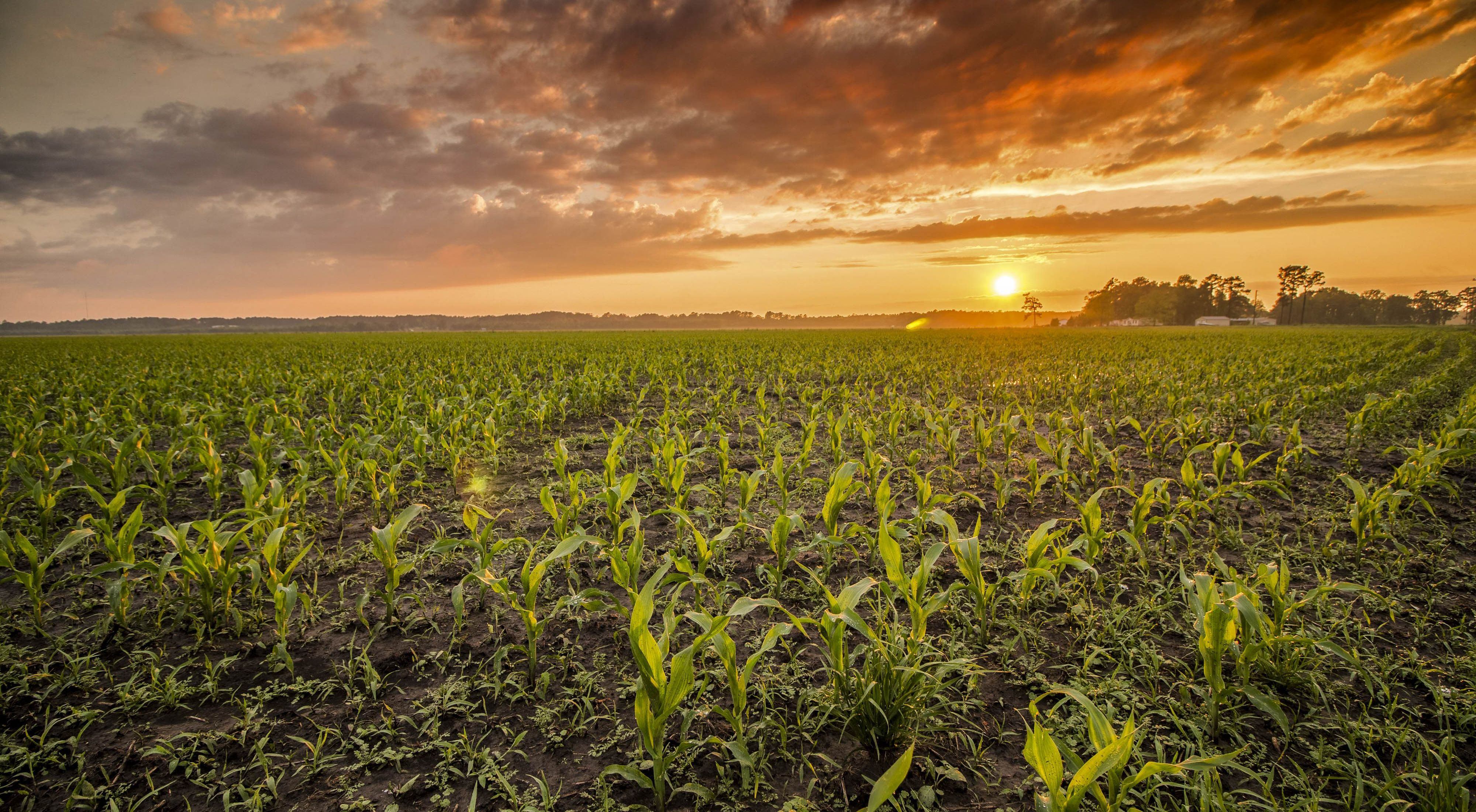 A wide expanse of corn plants a foot or two high under an orange sunset.