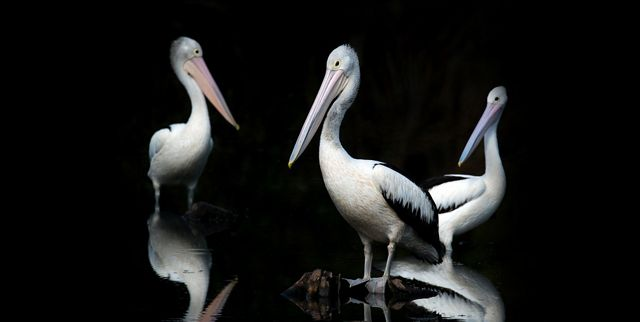 three starkly lit pelicans standing in water against a black background