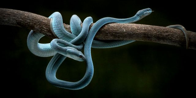 two blue viper snakes curled around a branch against a black background