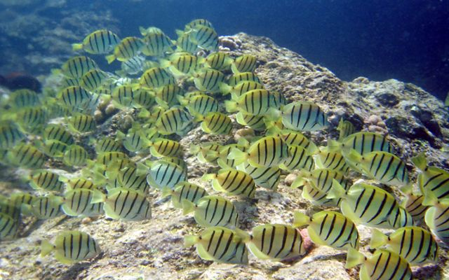 Underwater photo of a school of yellow fish with black stripes.
