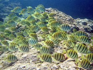 A school of yellow fish with black stripes.
