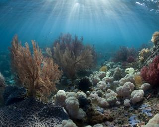 """Sea fans and soft corals adorn a """"coral garden"""" in Indonesia, Pacific Ocean."""