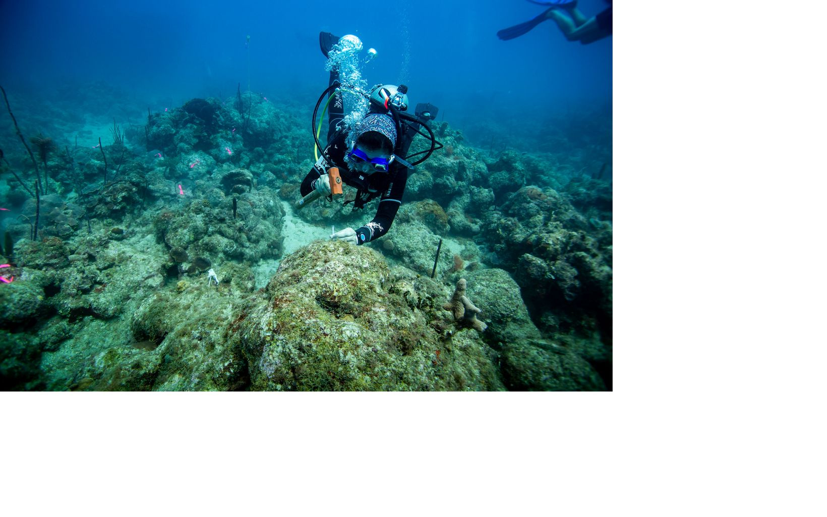 Divers prepare an unhealthy reef for restoration work.
