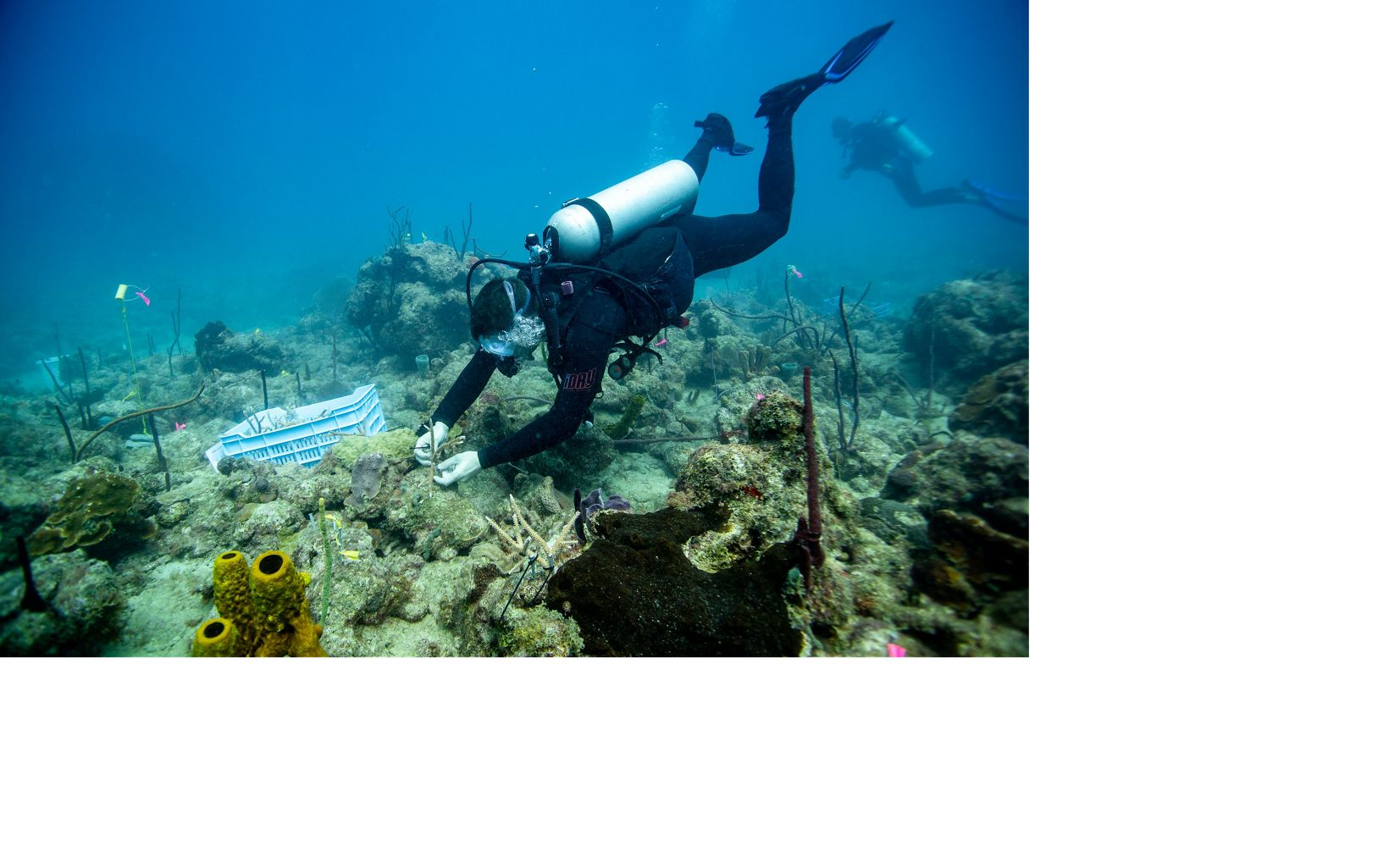 A diver uses a zip tie to attach a coral fragment to an unhealthy reef.