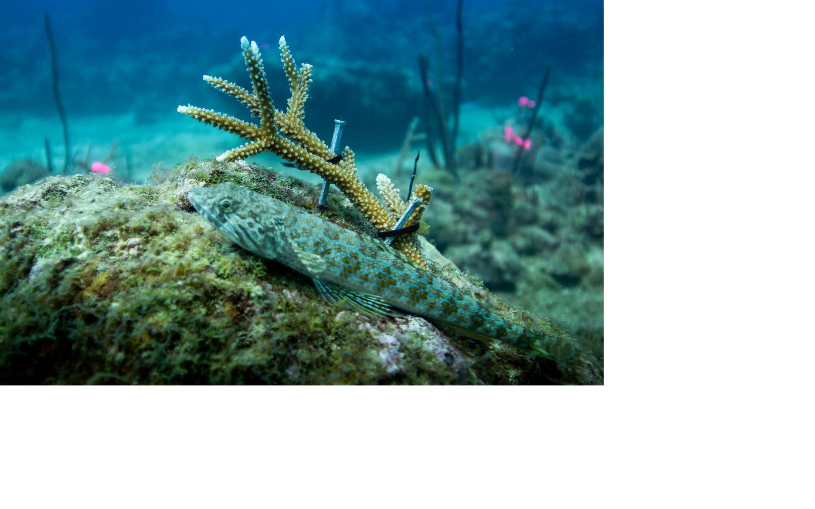 A coral fragment has been zip tied to the reef as part of restoration work.