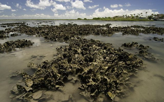 Oyster reef along the Texas Gulf Coast.