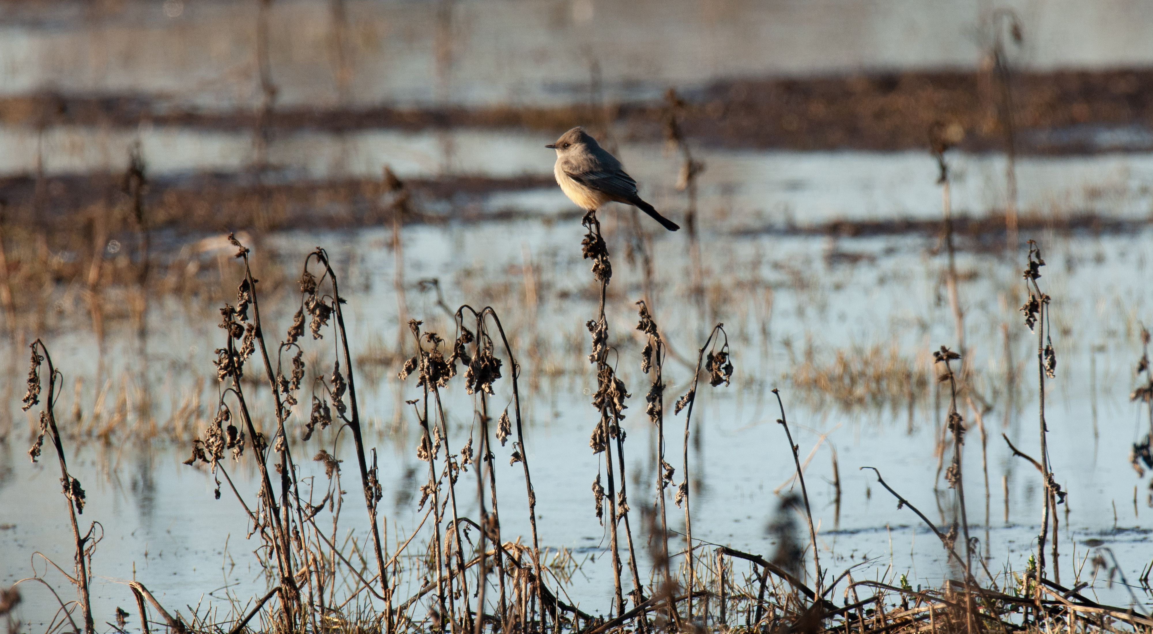 Bird on a blade of grass in the Cosumnes River Preserve