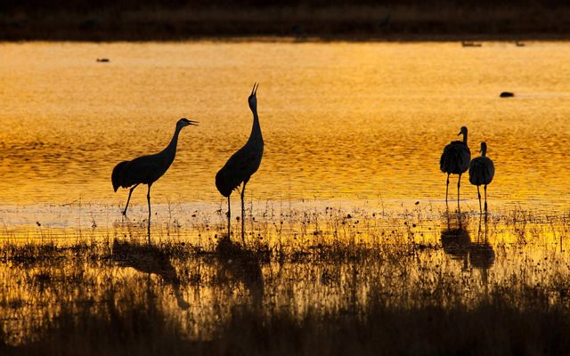 SANDHILL CRANES In the Cosumnes River Preserve wetlands at sunset.