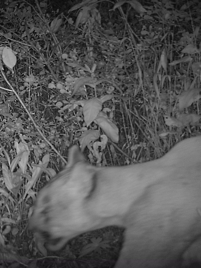 A cougar is caught in black and white on a trail camera