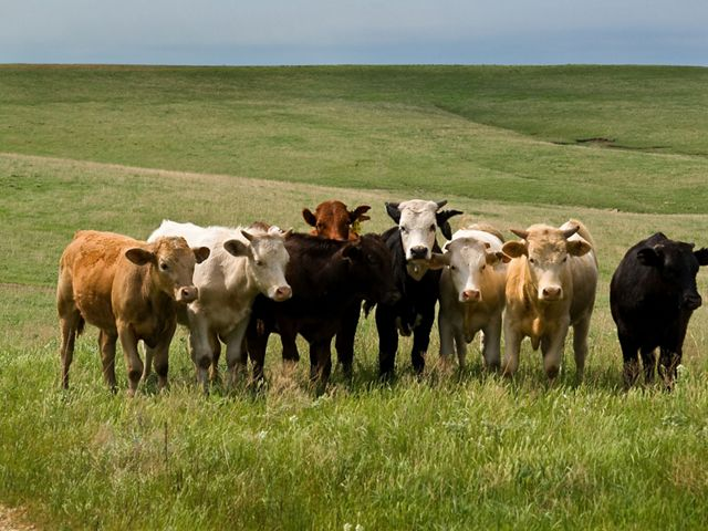 Photo of cows grazing in a field in the Flint Hills of Kansas.