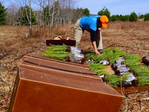 Laying out red spruce seedlings for planting