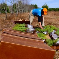 Conservation ecologist Deborah Landau lays out red spruce seedlings for planting at Cranesville Swamp Preserve.