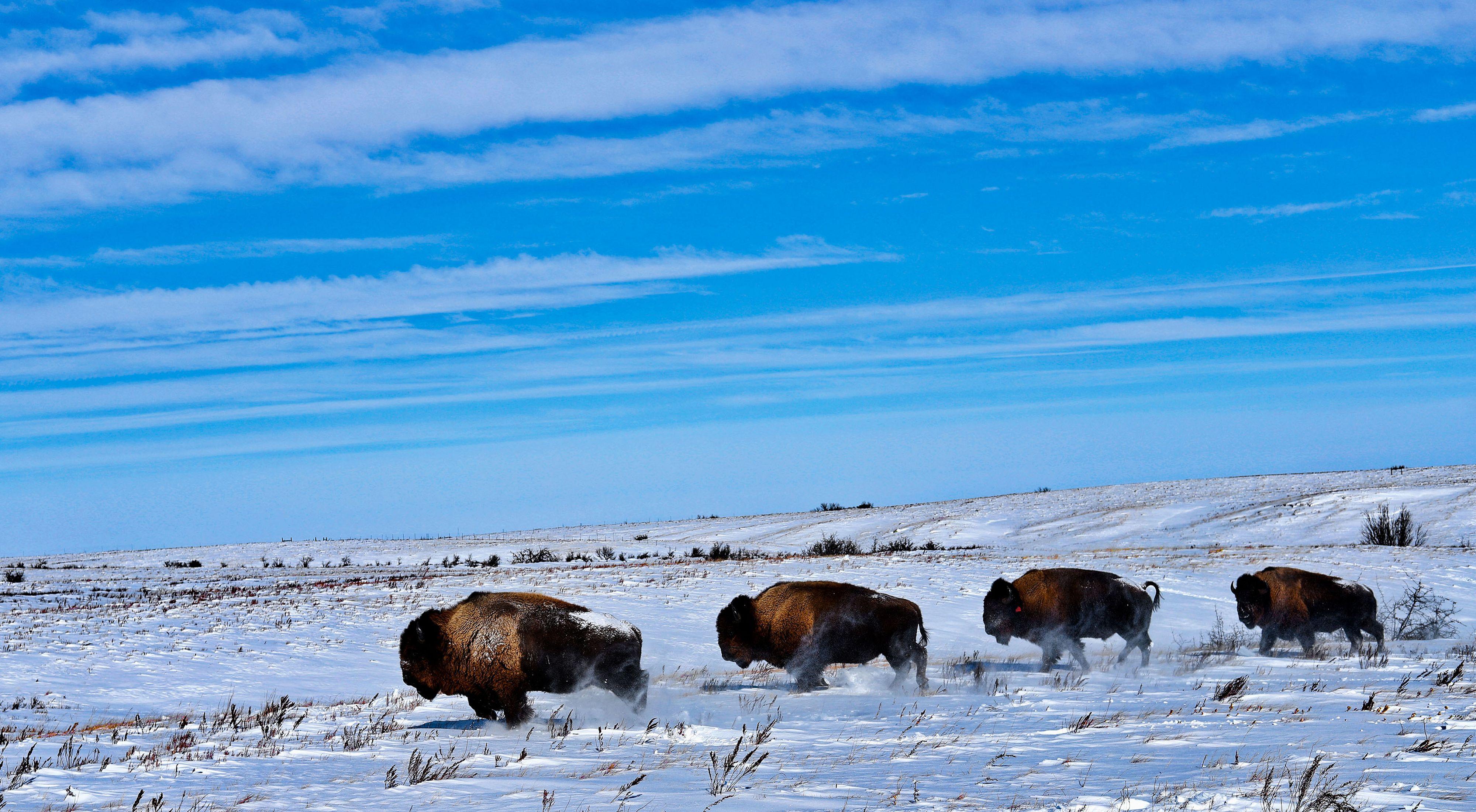 Four bison stomping through the prairie snow.