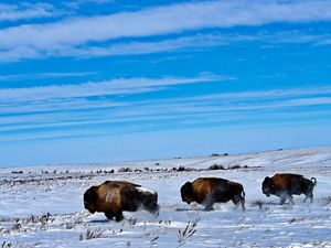 Four bison in the snow at Cross Ranch