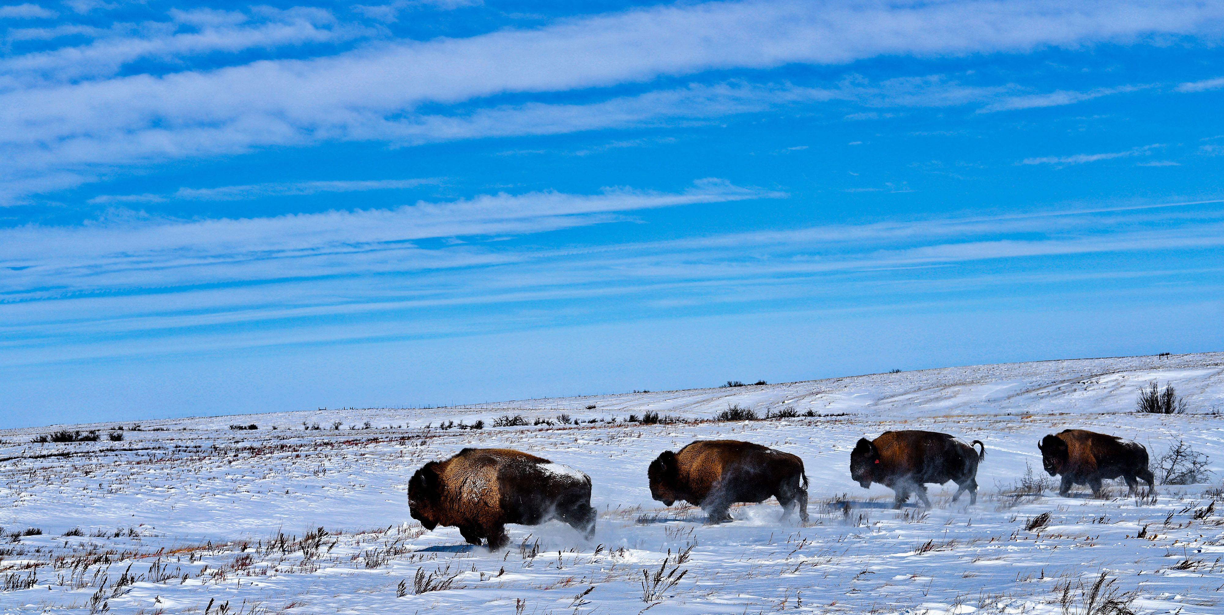 four bison on a snowy prairie.