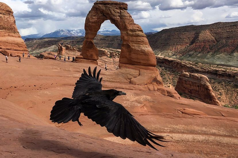 raven flies by tourists and delicate arch in arches national park