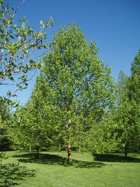 A young cucumber magnolia tree.