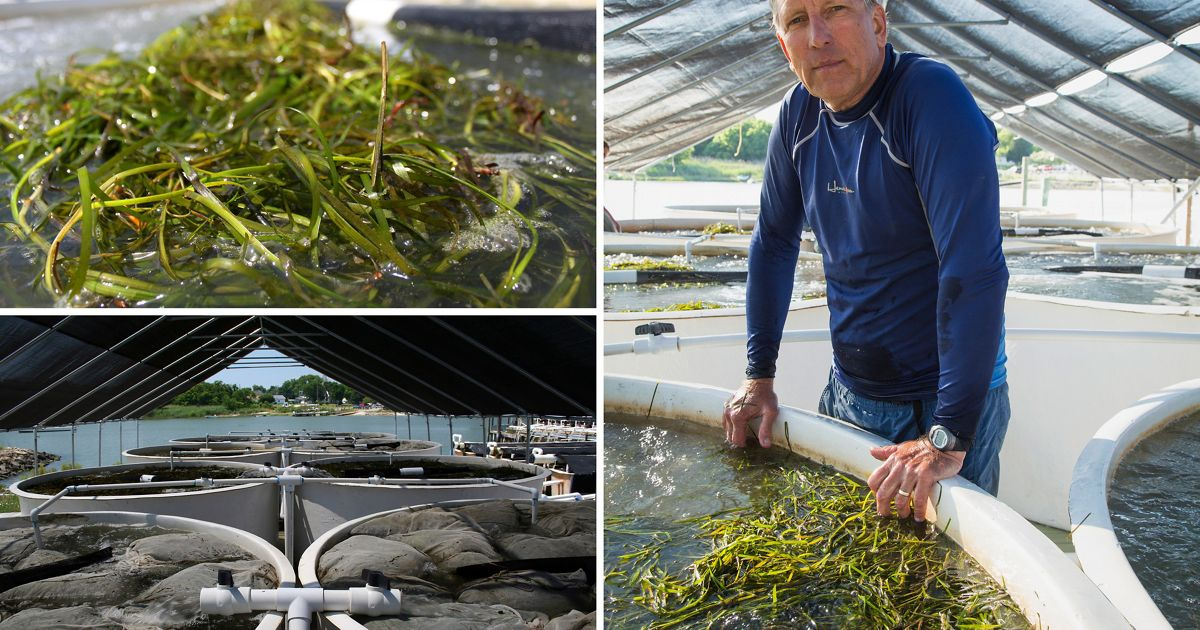 "Dr. Robert ""JJ"" Orth from VIMS stands next to a holding tank at the Conservancy's facility in Oyster, VA (right).  Eelgrass shoots are measured into holding tanks to cure."