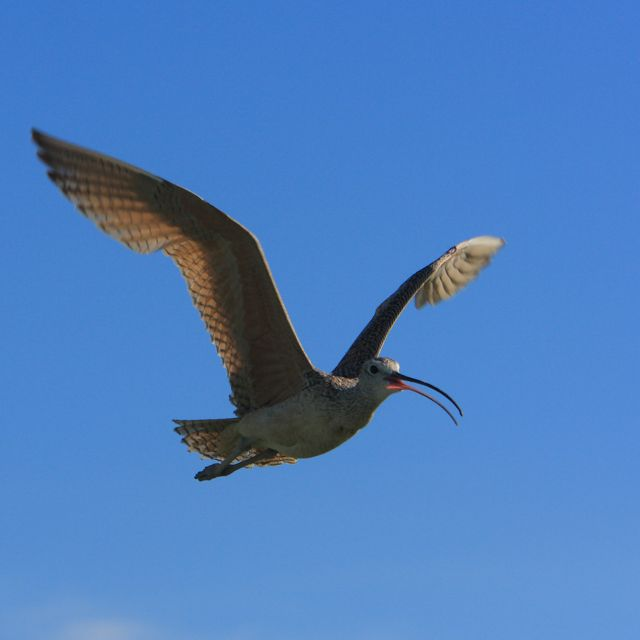 A curlew takes to the skies on a clear day in Montana.