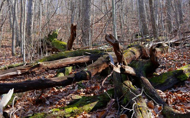 Fallen trees on a forest floor, covered in moss and surrounded by dead leaves and bare tree trunks.