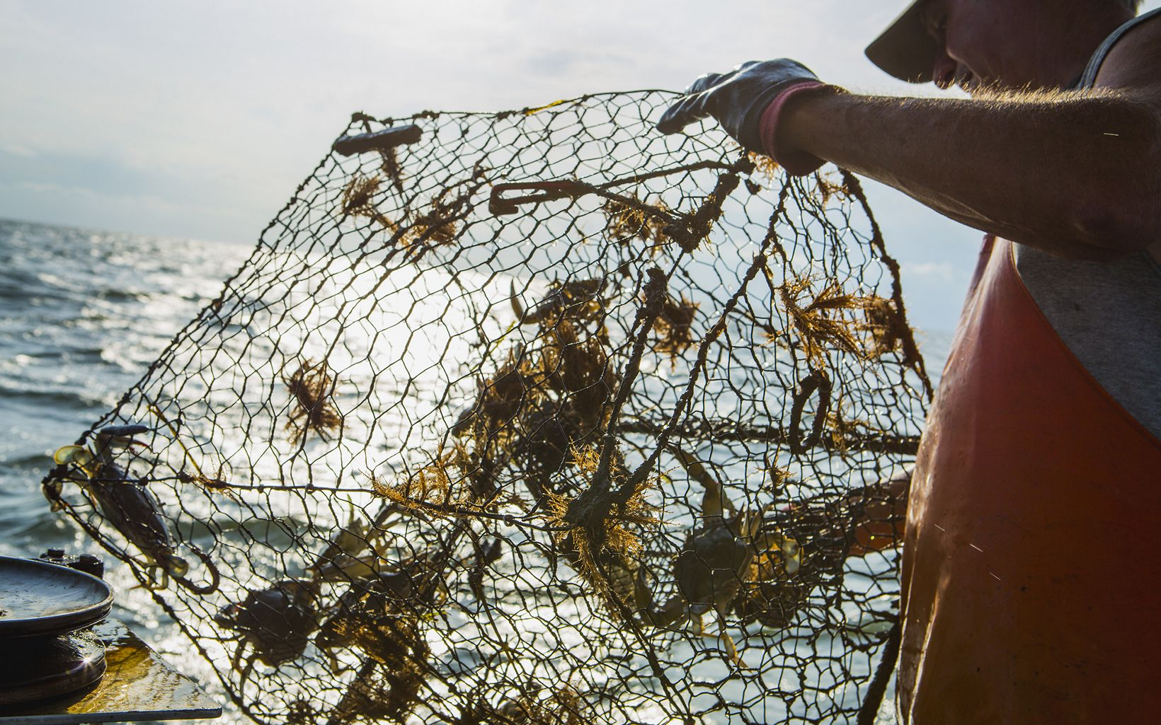 A man pulls a cage of blue crabs out of the water