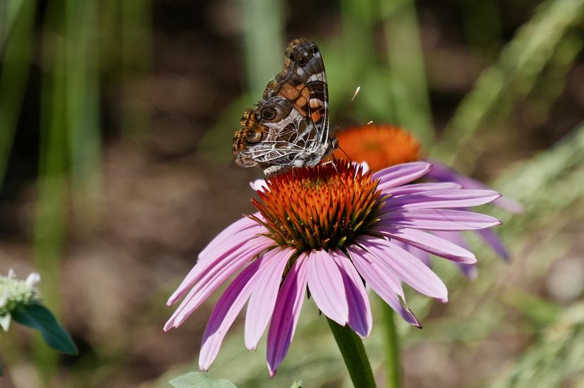 A small brown and orange butterfly sits in the middle of a pink flower with an orange eye.