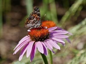 A butterfly with black and brown mosaic wings sips nectar from a flower with thin pale purple petals and a spikey orange center.