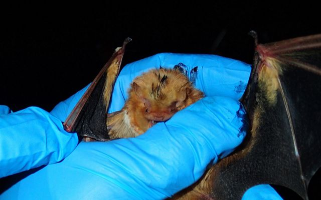 A researcher wearing a blue glove holds a bat during a field survey.