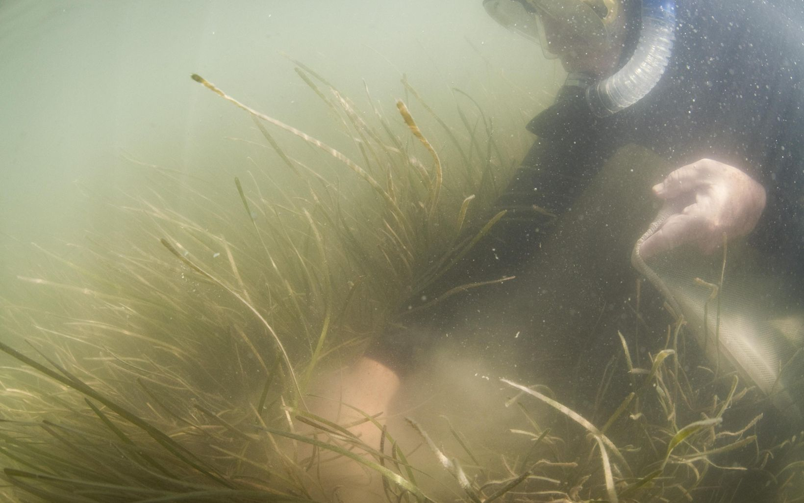 A snorkler collects eelgrass shoots underwater.