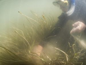 A snorkeler in a wetsuit floats underwater collecting eelgrass shoots. Sediment floats around his hand as he grabs a handful of grass. Long thin strands of seagrass wave in the murky water.