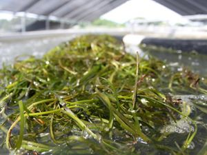 Close up view of long green eelgrass shoots soaking in large curing tanks in a covered outdoor facility.