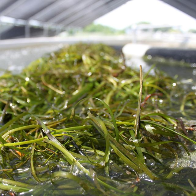 Thin strands of green eelgrass float in a storage tank.