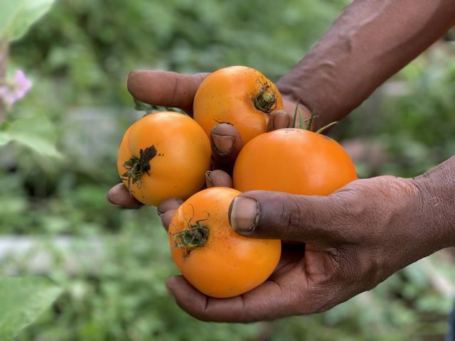 a man holds four red tomatoes in his hands