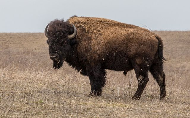 A male bison.