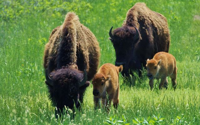 Two bison females with calfs.