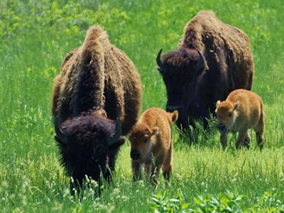 Bison with calves