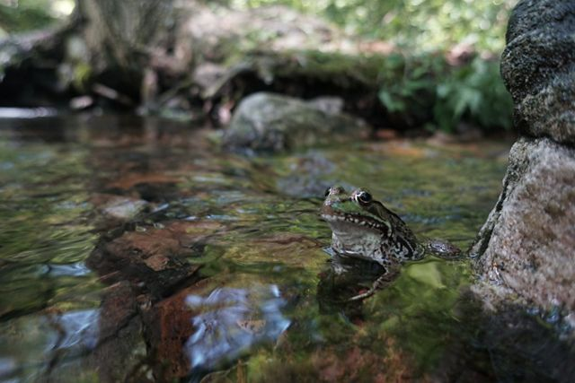 A green and brown frog sits in a shallow creek. Large rocks are visible under the surface of the water and along its edge.
