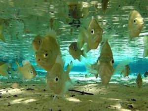 Swimming freely in clear, fresh water