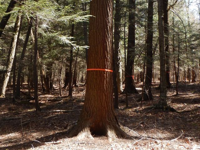 Orange ribbon tied around a hemlock tree.
