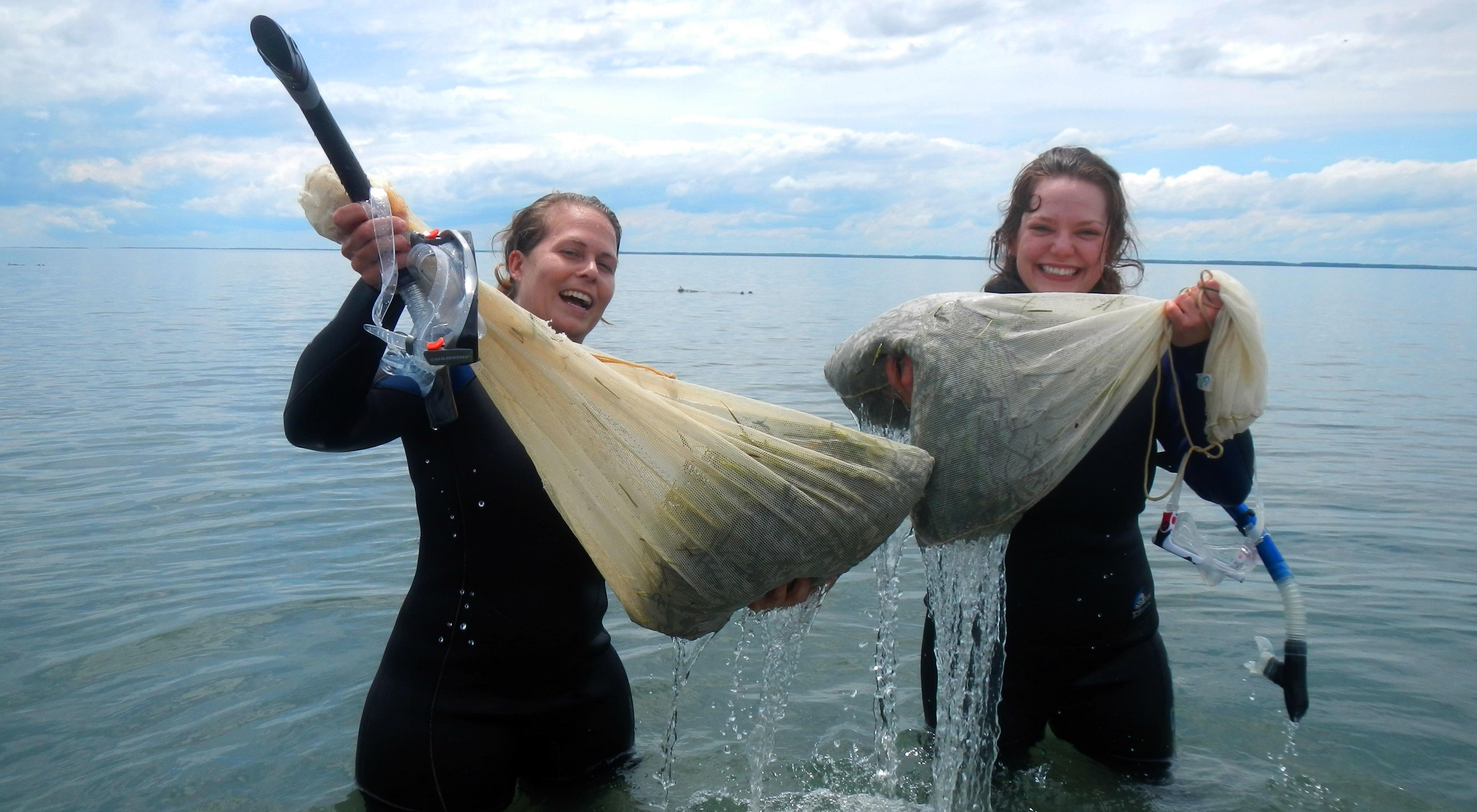 Two women in wetsuits stand in the water holding up bags full of eelgrass shoots.