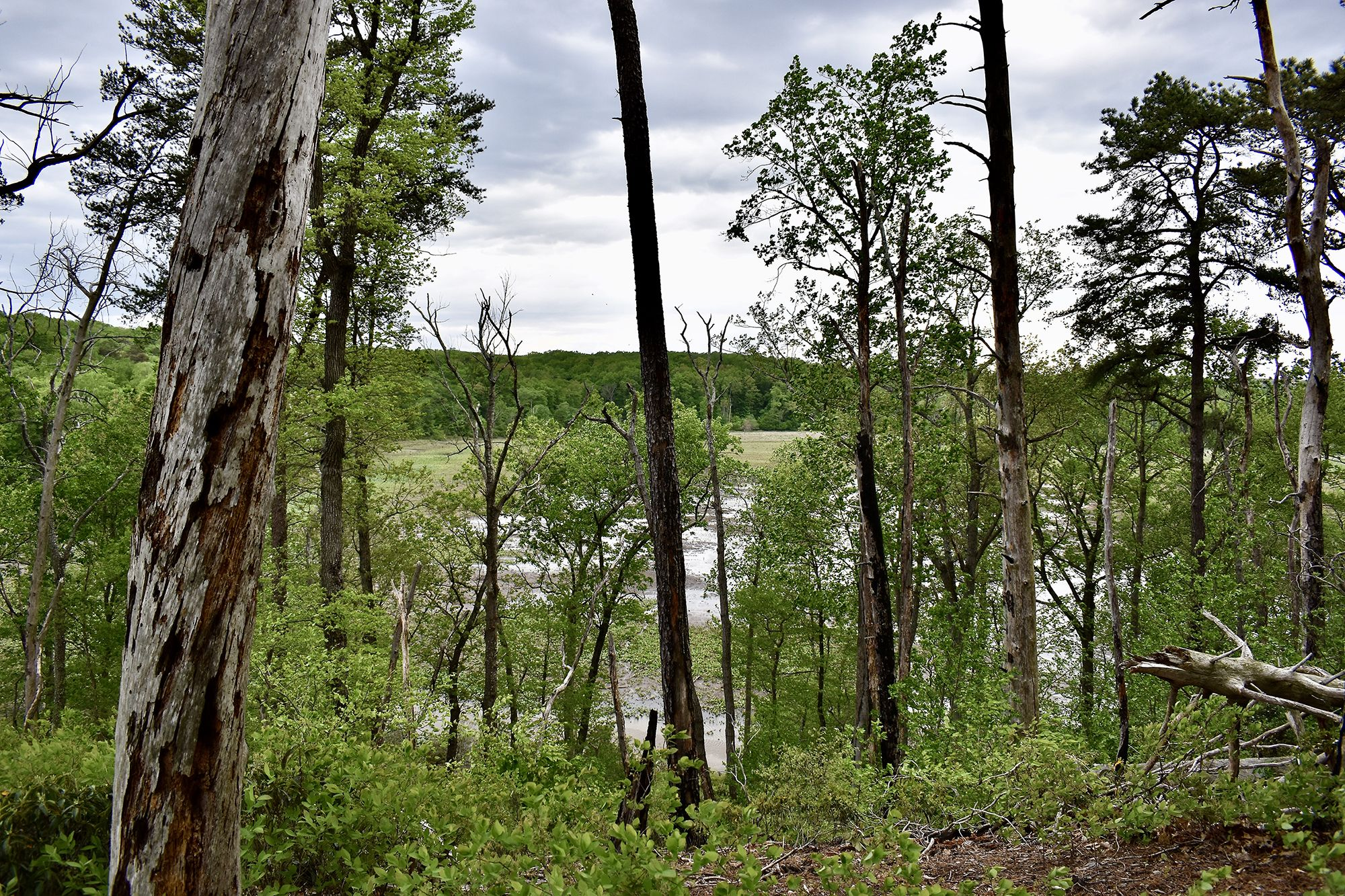 Tall trees obscure the view of a large impoundment lake in the background. Many of the trees are dead or dying due to beaver activity.