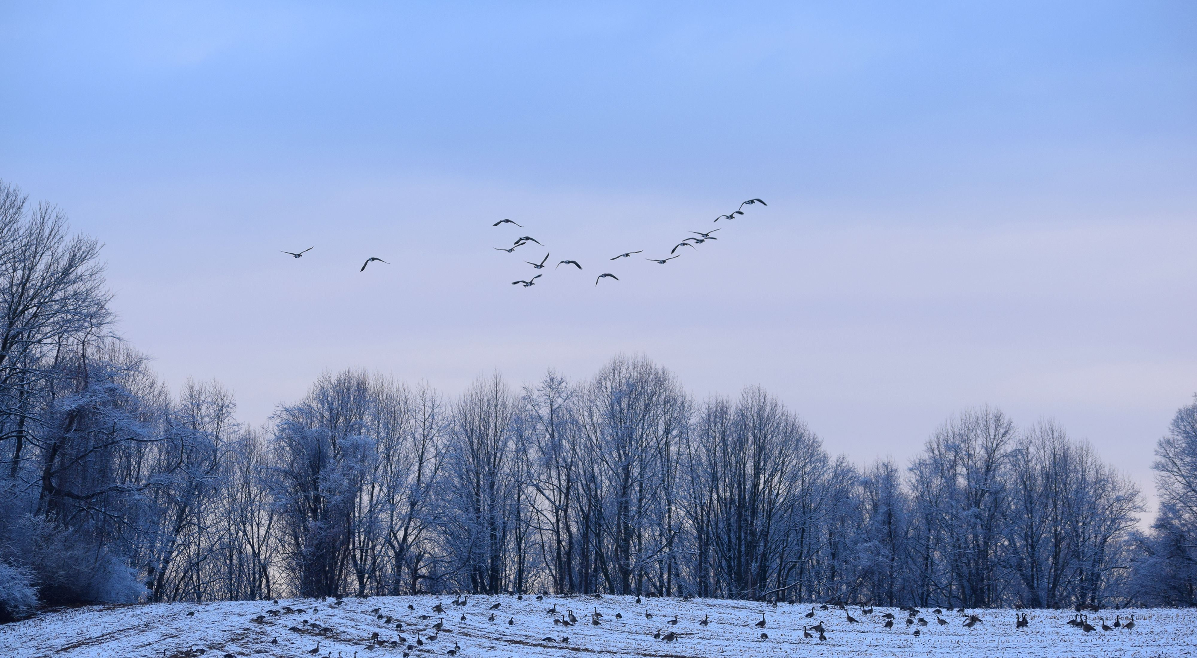 A large flock of Canada geese forage for food on a snow covered hill. Leafless snow covered trees line the background. A V-line of geese fly overhead.